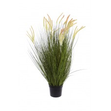 Grass Foxtail in pot